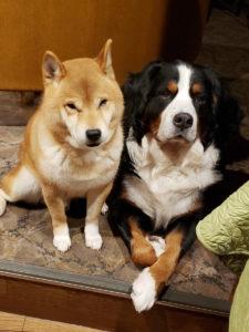 ホテルの看板犬・柴犬とバーニーズ1