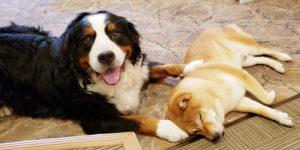 ホテルの看板犬・柴犬とバーニーズ3